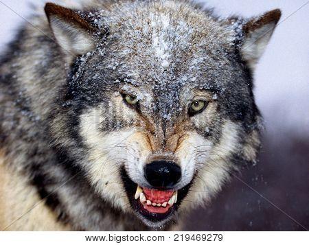 aggressive wolf looking so aggressive in winter season