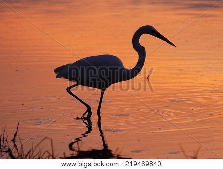 Great Egret Silhouetted In A Lagoon At Sunset - Estero Island, Florida