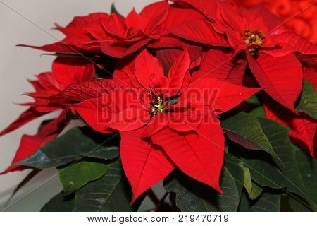 Christmas Flowers / Red Poinsettia Flower, Euphorbia Pulcherrima, Nochebuena
