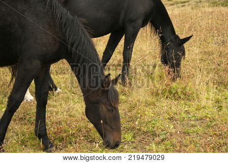 One year old foal grazing with his mother horse closeup