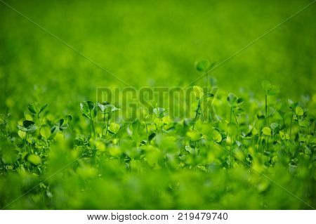 Field of a green clover background. Clovers three leaf. Day of St Patrick concept. Selective focus.