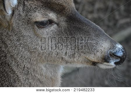right side profile of female deer face