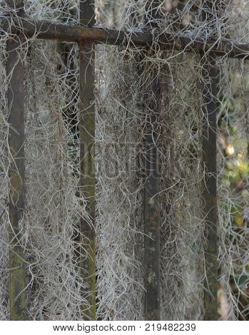 vertical background of spanish moss on iron gate