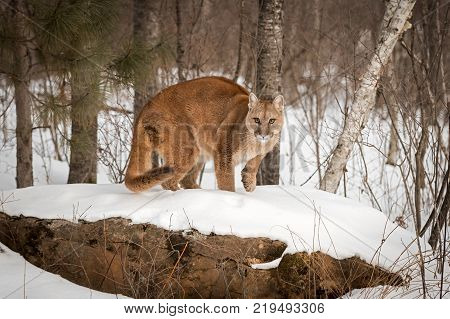 Adult Female Cougar (Puma concolor) Crouches on Rock Paw Up - captive animal