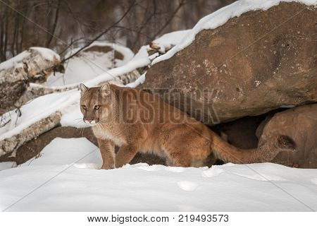 Adult Female Cougar (Puma concolor) Comes Out From Under Rocks - captive animal