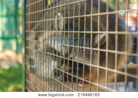 Racoon in the zoo's cage in the morning