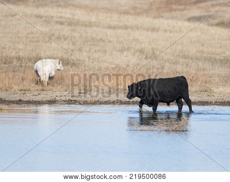A Black Angus bull in pond in Kansas