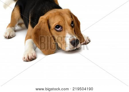 Cute Beagle puppy dog isolated on a white background