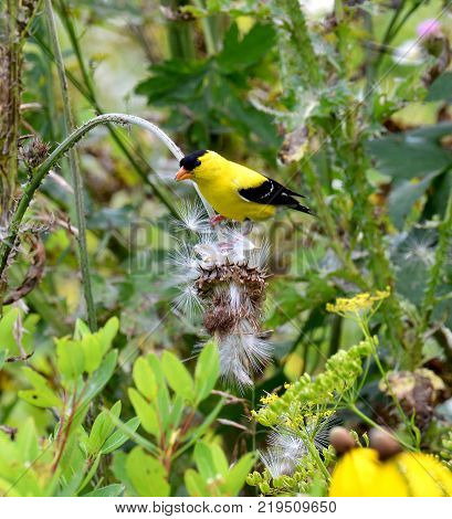 American gold finch eating a thistle seed