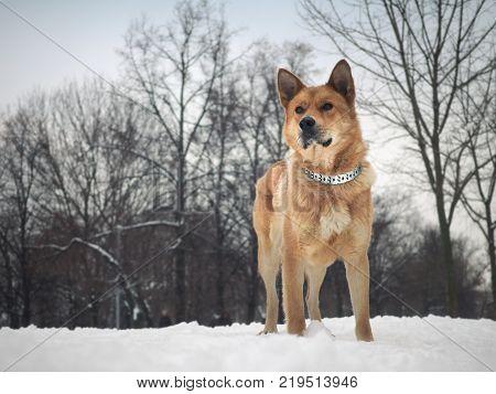 Big beautiful red dog. Winter, snow. The half-breed Akita inu