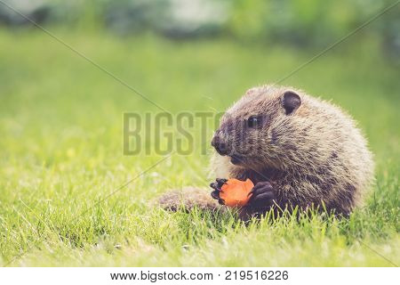 Young Groundhog (Marmota Monax) holding a half-eaten carrot sitting in the green grass on a spring morning