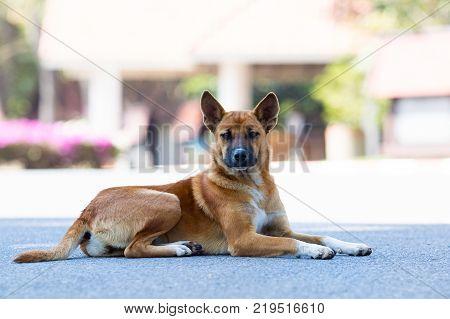thai domestic street dog lying on asphalt road