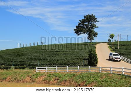 CHIANG RAI THAILAND - November 22 2016: Choui Fong Tea plantation is in Chiang Rai Thailand. It's one of most popular destination for tourism trip in Chiang Rai Thailand.