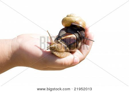 Garden snail in the palm