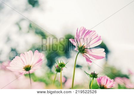pink cosmos in garden with white sky shallow dept of field