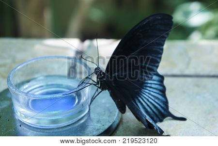 Black butterfly with blue stripes drinks nectar from jar in nursery. Tropical butterfly papilio rumanzovia and common mormon.