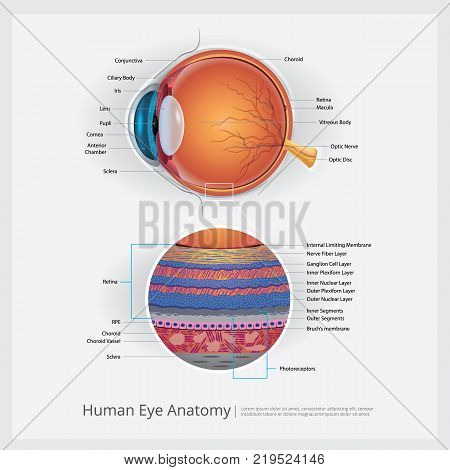 Human Eye Anatomy with Detail Vector Illustration