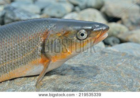 A close up of the fish (Leuciscus brandti).