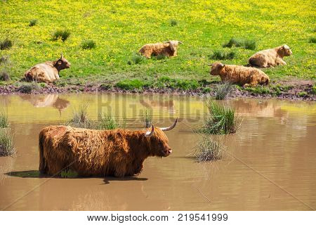 A Highland Cow standing in water to cool off on a hot summer day. Typical scottish highland Cow. Stirling, Scotland, UK