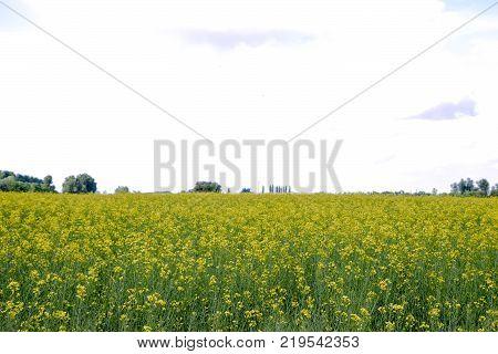 Rapeseed field. Yellow rape flowers, field landscape. Blue sky and rape on the field