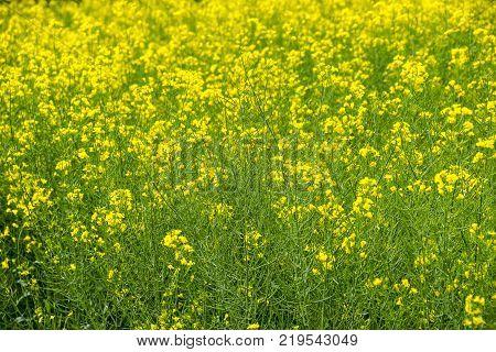 Rapeseed field. Background of rape blossoms. Flowering rape on the field