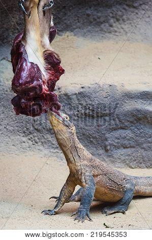 The Komodo dragon eats a deer victim