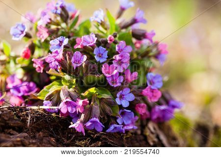 The evergreen perennial plant of the genus Pulmonaria - bouquet on the wood trunk. Spring season lungwort, common Mary's tears or Our Lady's milk drops.