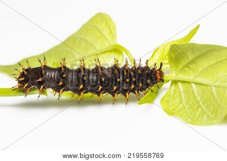 Caterpillar Of Great Eggfly Butterfly ( Hypolimnas Bolina Linnaeus ) On Leaf