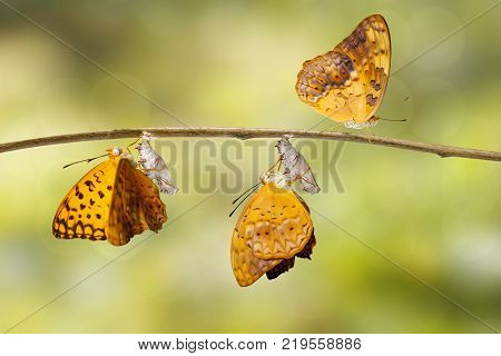 Emerged and chrysalis shell of common leopard butterfly ( Phalanta ) hanging on twig