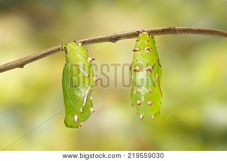 Mature Chrysalis And Emerged Of Common Leopard Butterfly ( Phalanta ) Hanging On Twig