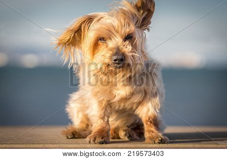 deep look dog blurred blue background. Doggy hairy ear flying in the wind, nose and snout, cute animal, Yorkshire Terrier brown.