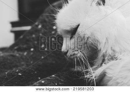 Turkish Angora. White cat. A seventeen-year-old cat relaxes and enjoys life.