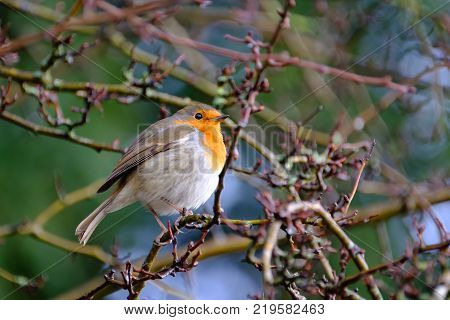 A beautiful European robin tweeting on a tree branch in back garden.