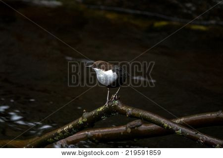 White-throated dipper by the riverside in Molndalsan river