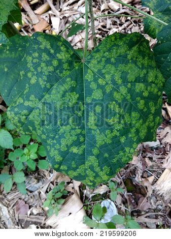 wide green leaves with yellow spots on the yard