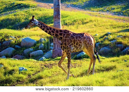 December 18, 2017 in Palm Desert, CA:  Giraffe roaming a plain taken at the Living Desert Zoo in Palm Desert, CA where people can view exotic animals and plants native to desert regions