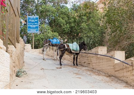 Near Mitzpe Yeriho Israel November 25 2017 : Tied donkeys with saddles stand near the gate of the monastery of St. George Hosevit (Mar Jaris) in anticipation of tourists near Mitzpe Yeriho in Israel