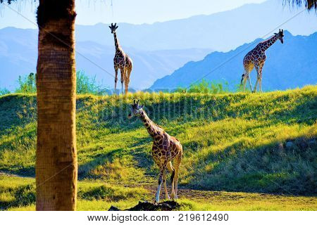 December 18, 2017 in Palm Desert, CA:  Giraffes roaming a plain taken at the living Desert Zoo in Palm Desert, CA where people can view exotic plants and animals native to desert regions while observing beautiful plains and mountains