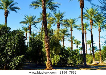 Desert Oasis with Date Palms and Orange Trees taken in a garden