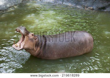full body jaw of hippopotamus in water pool