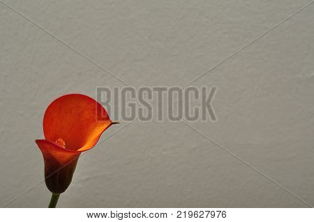 A single Arum lilly isolated on a white background