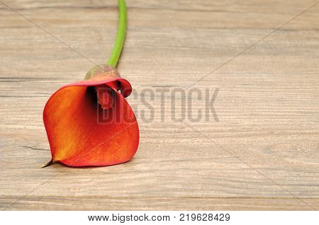 A single Arum lilly isolated on a wooden background
