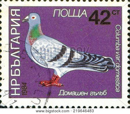 Ukraine - circa 2017: A postage stamp printed in Bulgaria shows drawing Bird Domestic Pigeon Columba livia domestica. Series: Birds. Circa 1984.