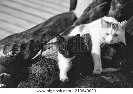 Two cute cats black and white rest on druid knees in chair on sunny day outside on grey background