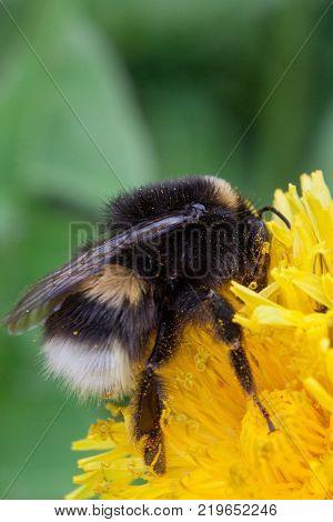 Bumblebee gathering pollen from a dandelion flower. Animals in wildlife. Closeup.