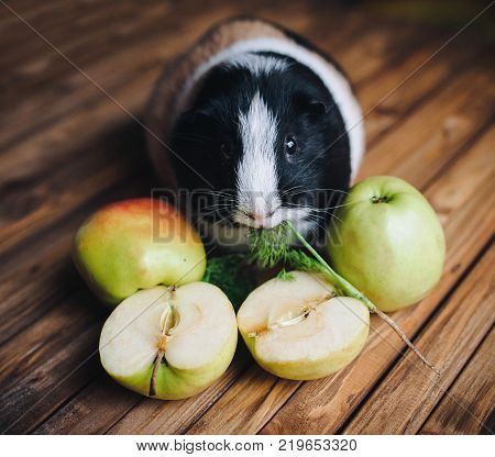 A hungry guinea pig chewing dill. Feeding guinea pigs. Apples on a wooden background. Herbivorous animals.