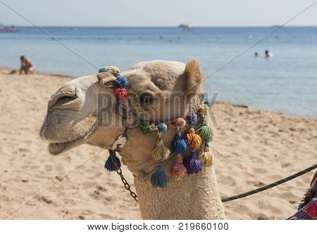 Closeup of dromedary camel head with ornate colorful bridle harness on tropical hotel resort beach in summer