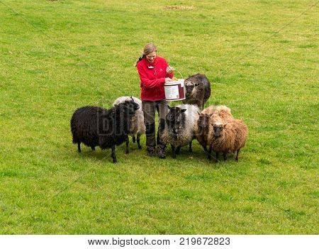 BERGEN, NORWAY - 22 SEPTEMBER 2017: Female farm worker feeding flock of sheet on Norwegian farm near Bergen