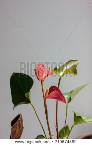 Pink anthurium flowers as a home plant.