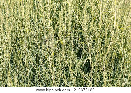 Plant Of Sorghum For Making Broom
